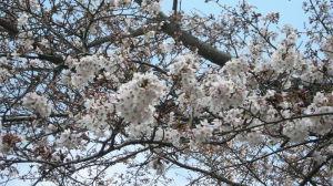 桜開花2016年度