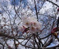 桜開花2017年度